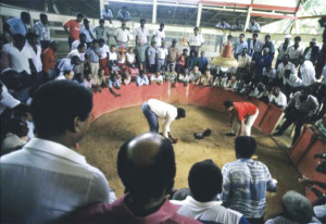 Cockfighting, Guadeloupe