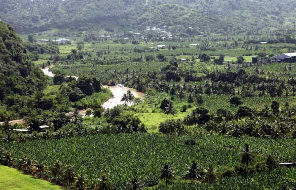Image: Banana plantations in the early years
