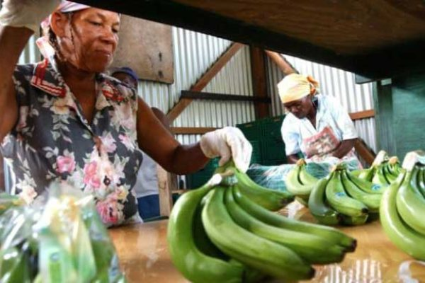 Image: Preparing bananas for export