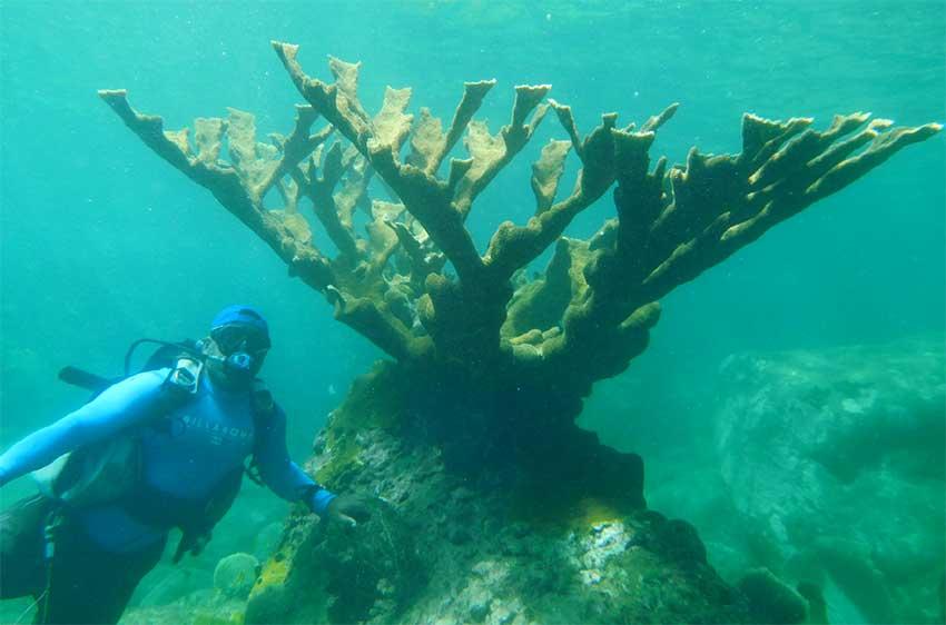 Image of Large Elkhorn Coral