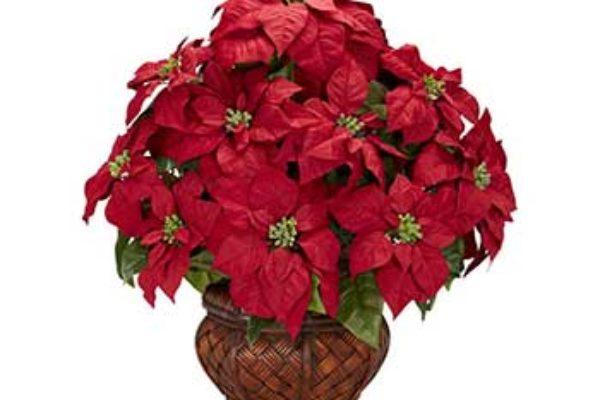 Image of Poinsettias