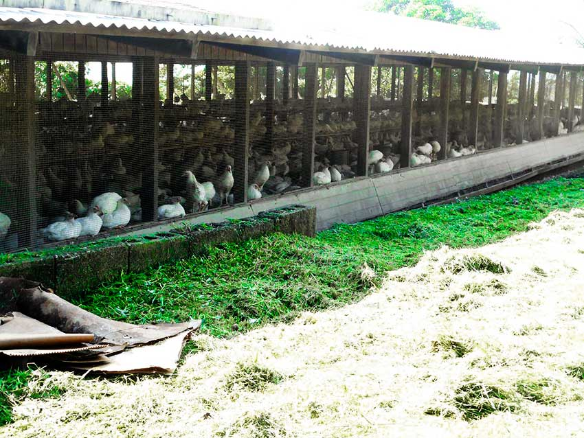 Image: The perennial shortage of eggs especially during the Christmas season is partly due to the lack of a functioning cooperative, one egg farmer says.