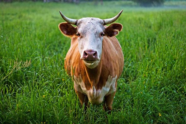 Image of a cow