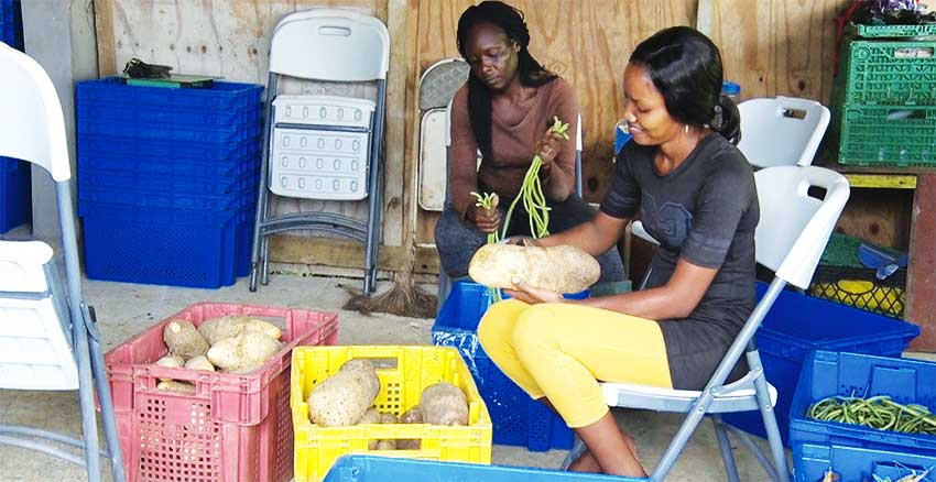 Image: Women are playing an increasing role in Caribbean Agriculture – and many are now joining male counterparts on Canadian farms.
